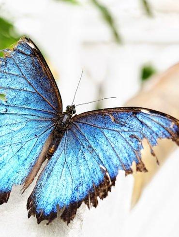 Dieser große blaue Schmetterling war rastlos unterwegs. Es war sehr schwierig dieses wunderschöne Exemplar zu fotografieren.