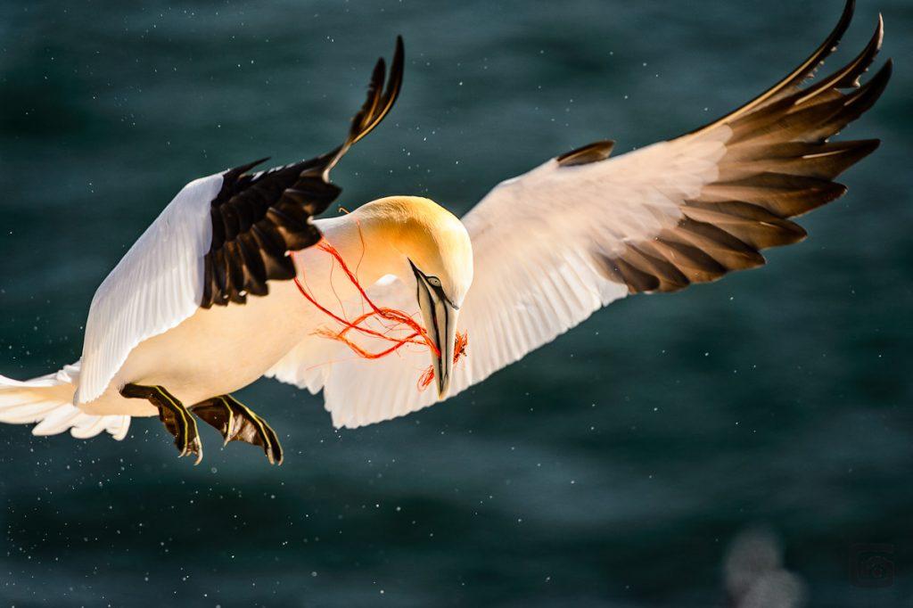 Anflug mit Nestbau-Material - Fischereinetze oder was davon übrig geblieben ist