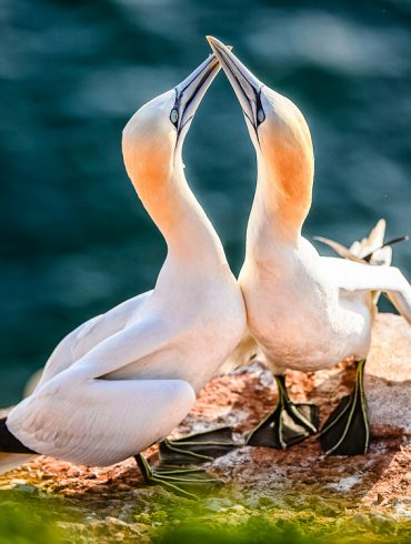 Liebesritual zwischen Basstölpel