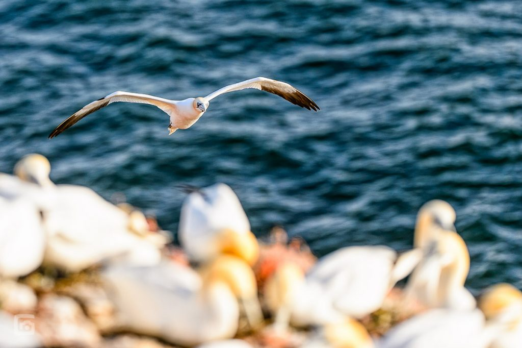 Anflug eines Basstölpel am Lummenfelsen auf Helgoland