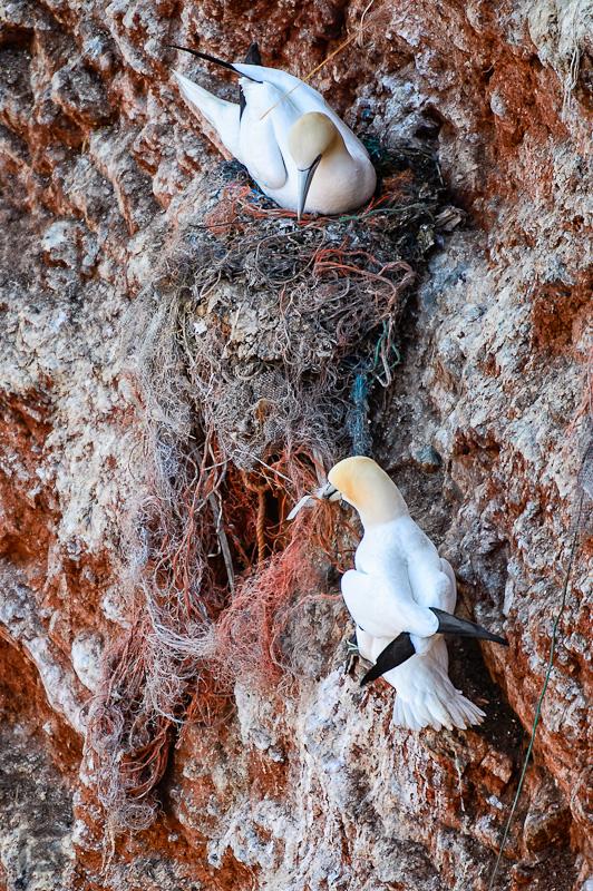 Ein Basstölpel versucht das Nest zu richten und Herr der Fischereinetzreste zu werden